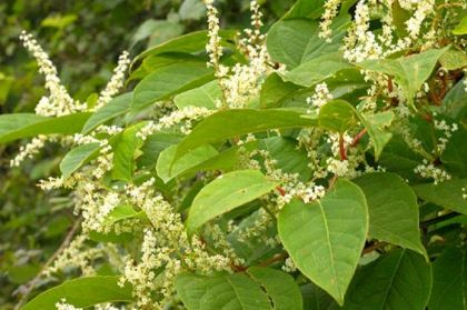 Japanese knotweed identification